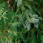 Evergreen Fragrance Oil