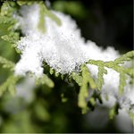 Iced Cypress Fragrance Oil