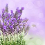 Sea Mist and Lavender