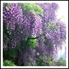 Wisteria Fragrance Oil