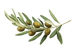 Olive Branch Lush Type Fragrance Oil