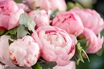 Perfect Peony BBW Type Fragrance Oil - RESTOCK EXPECTED WEEK OF MAY 3