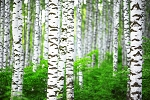 White Birch & Shiplap Fragrance Oil