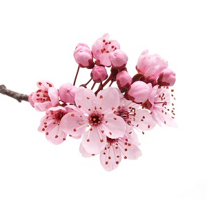 Japanese Cherry Blossom - BBW Type Fragrance Oil