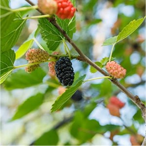 Mulberry Fragrance Oil